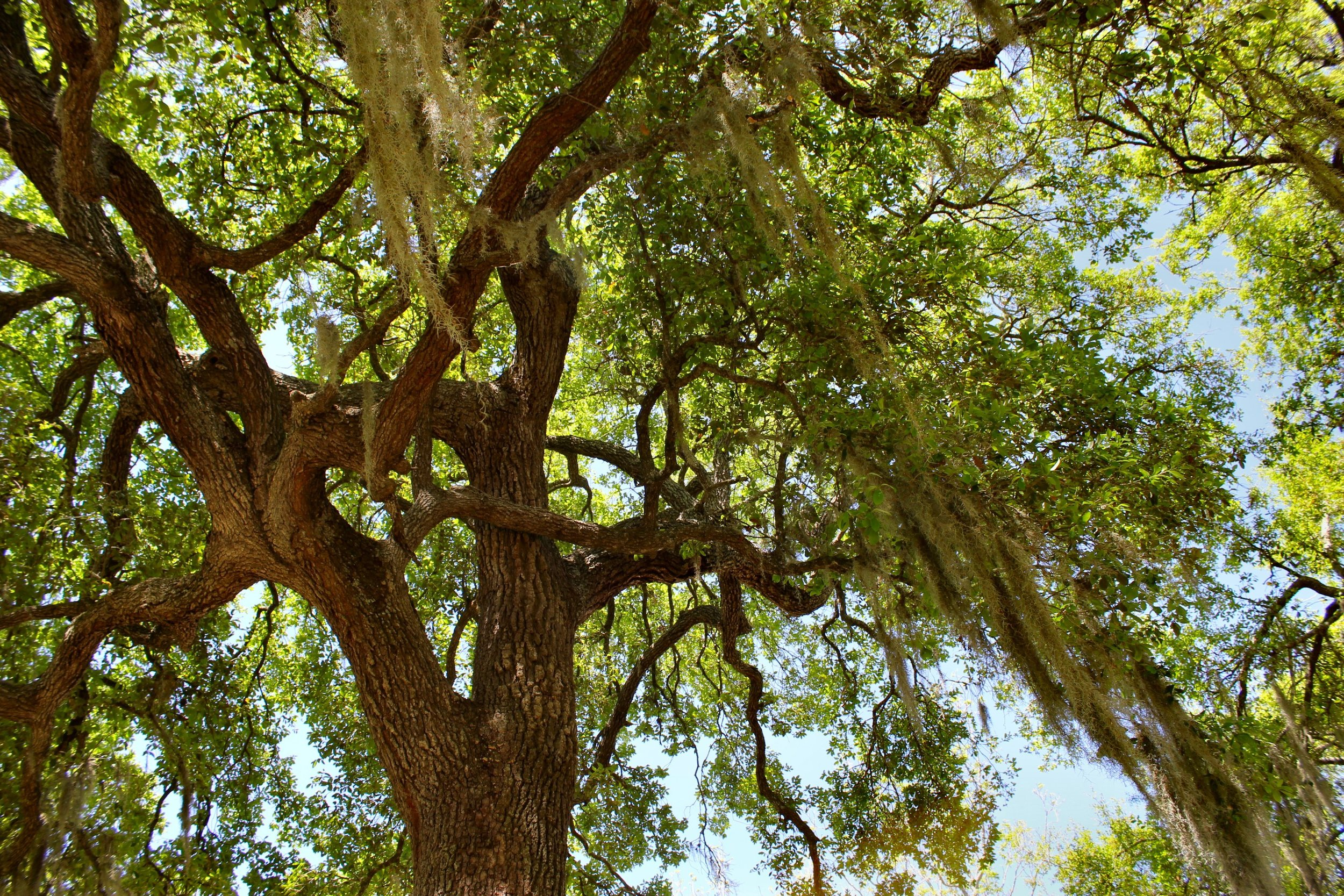 brazos-bend-live-oak-covered-in-spanish-moss.jpg