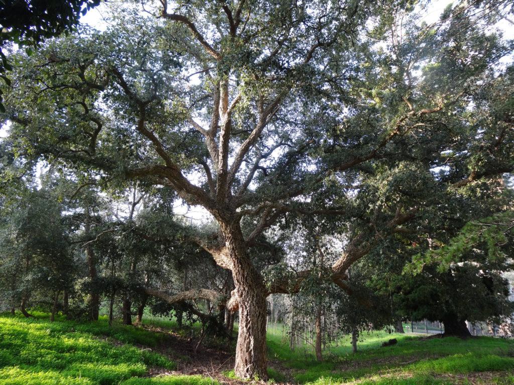 cork oak.jpg