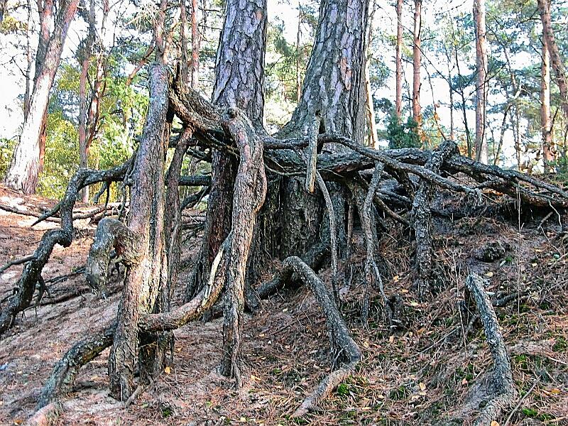 Pinus_silvestris_roots001xx.jpg