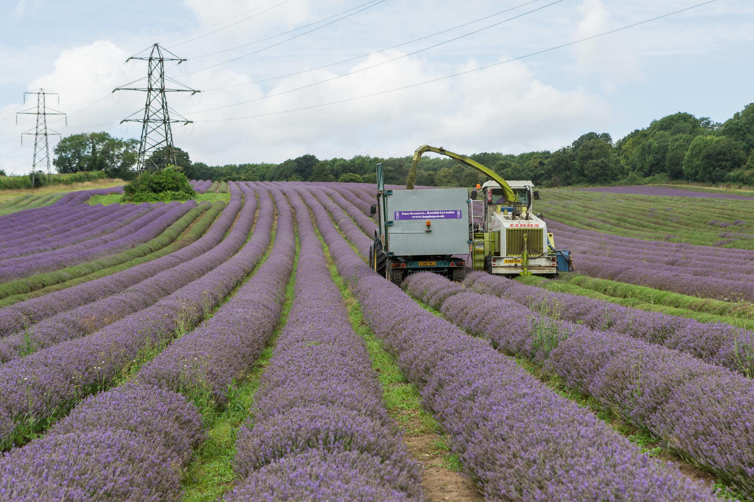 lavender harvesting UK