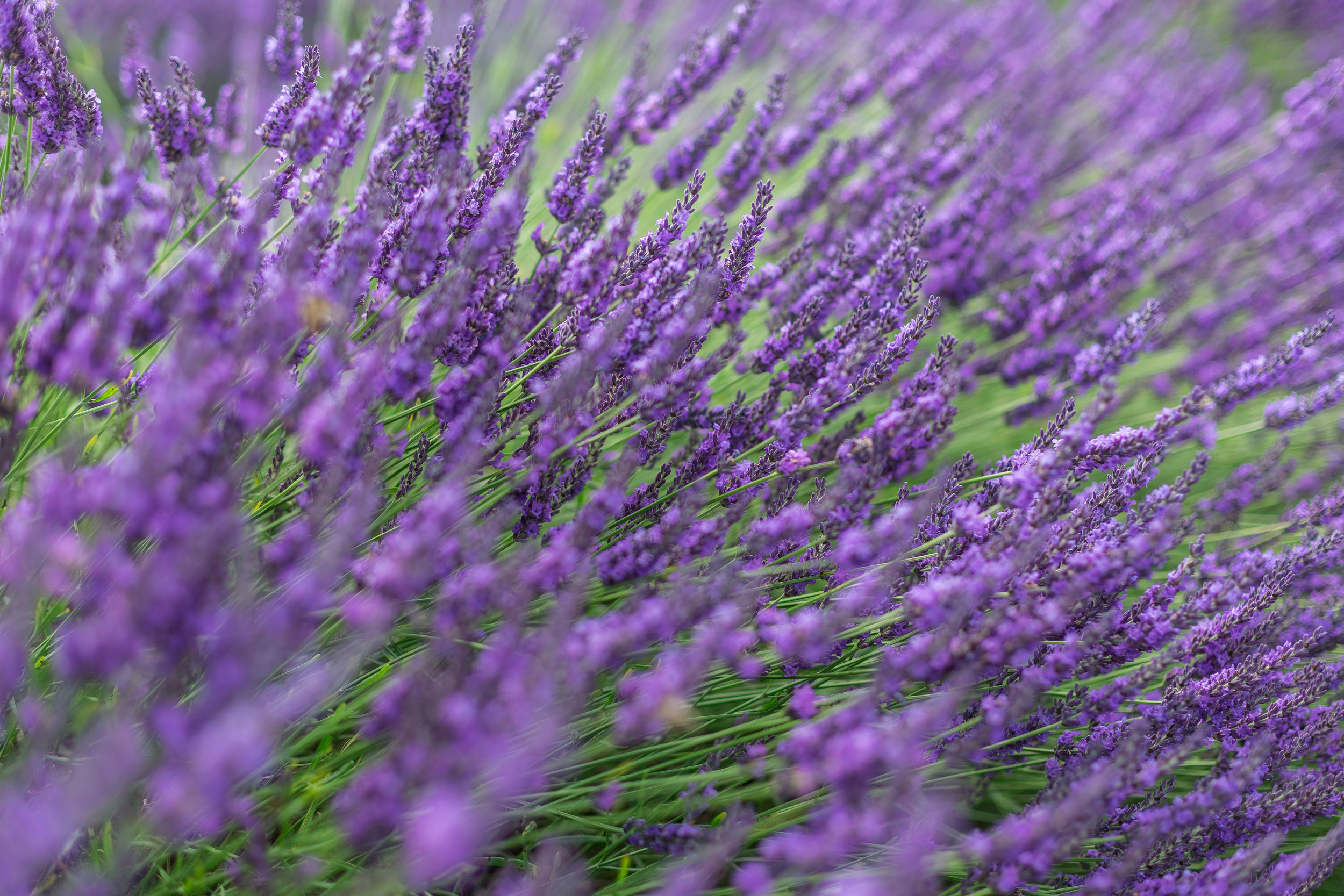 UK Lavender