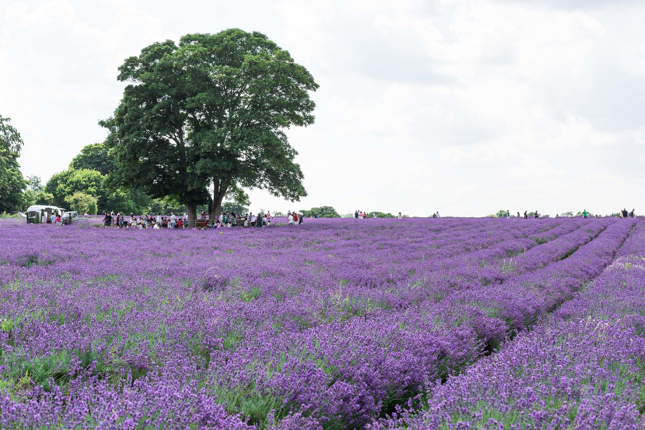 Mayfield lavender UK