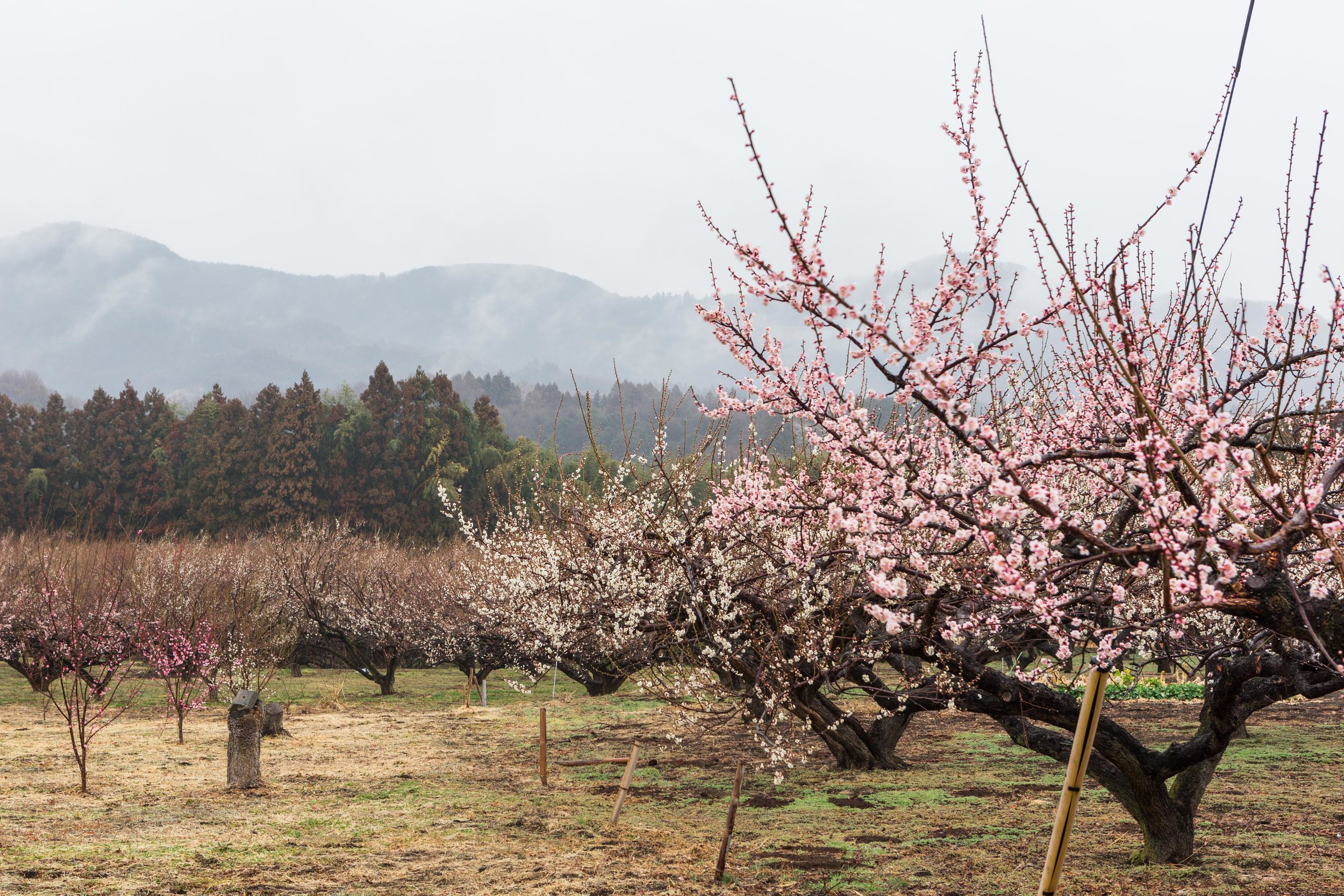Akima Bairin plum farm
