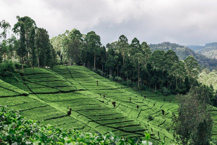 Java tea plantation