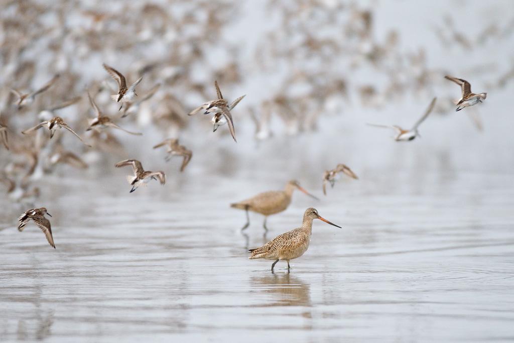 Shorebirds photo by Milo Burcham