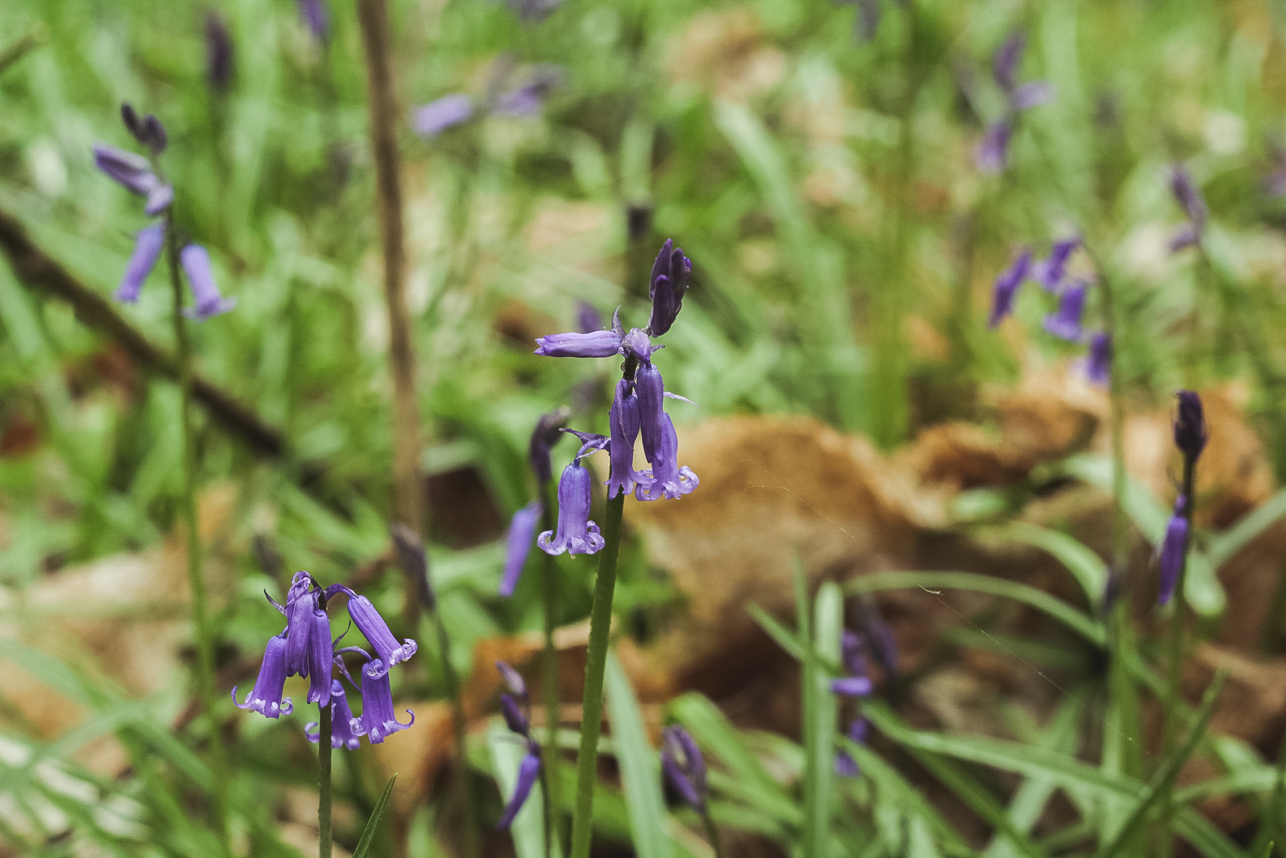 Kings wood in Kent, Bluebells | Seeds and Stitches blog