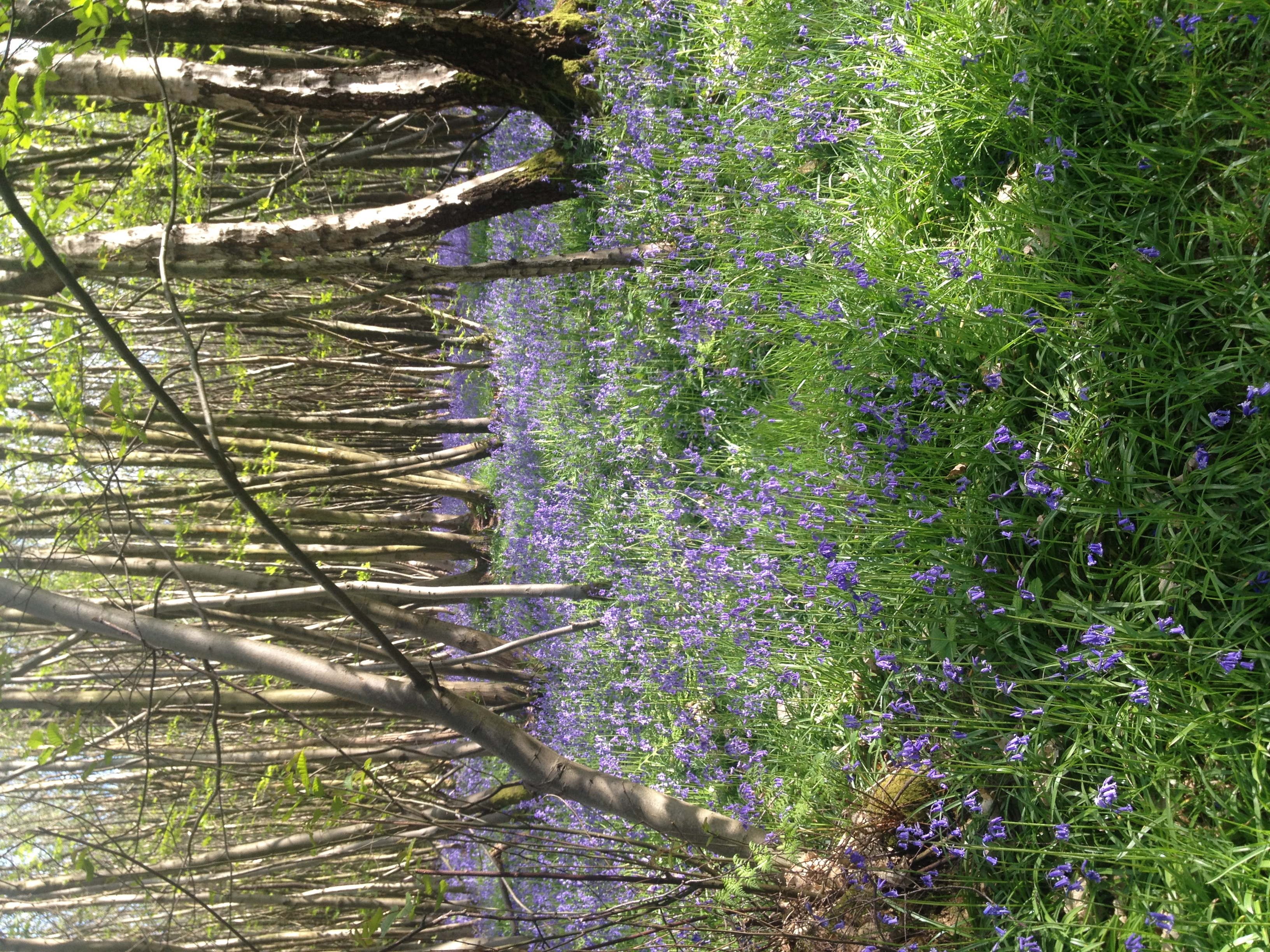 Bluebells in Kings Wood, Kent | Seeds and Stitches blog