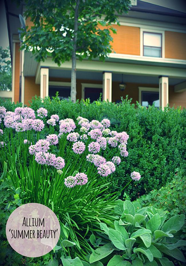 Allium Comparison3.jpg