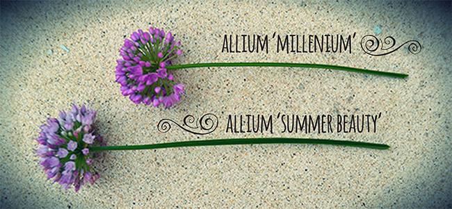 Allium 'summer beauty' opens its flower buds about a week earlier than 'millennium'.