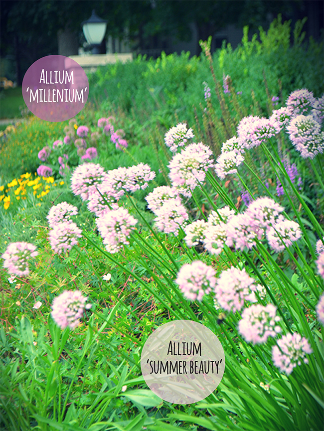 This image shows how different the purples are for each allium. 'Millennium' is much darker.