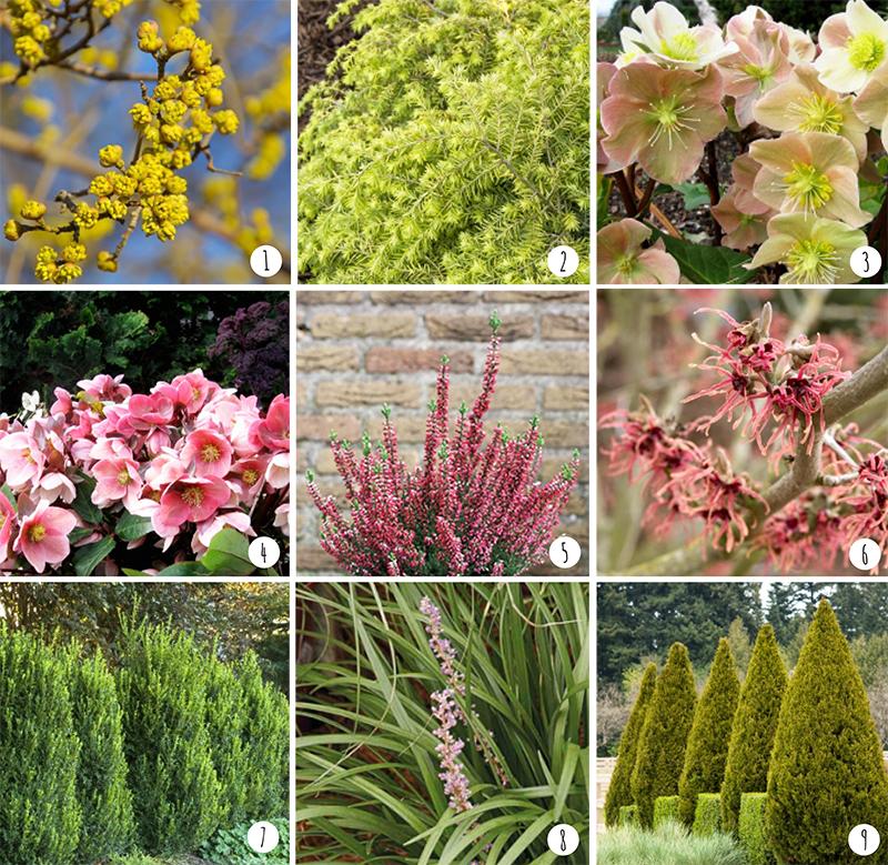 Photos courtesy of   Monrovia Nursery  : 1.  Cornus mas 'golden glory'  | 2. Tsuga canadensis 'MonKinn'  | 3. Helleborus x ballardiae 'HGC Cinnamon Snow'  | 4. Helleborus x ballardiae 'HGC Pink Frost'  | 5. Calluna vulgaris 'Nr 5163'  | 6. Hamamelis x intermedia 'Diane'  | 7. Buxus x 'Green Mountain'  | 8. Liriope muscari 'Love Potion No. 13 ' | 9. Juniperus chinensis 'Spartan'