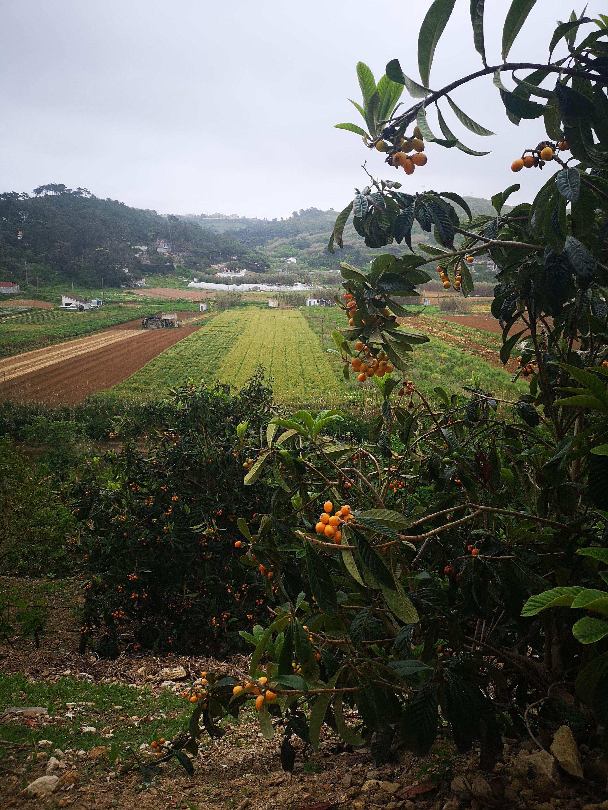 Nispero Fruit from the Garden!