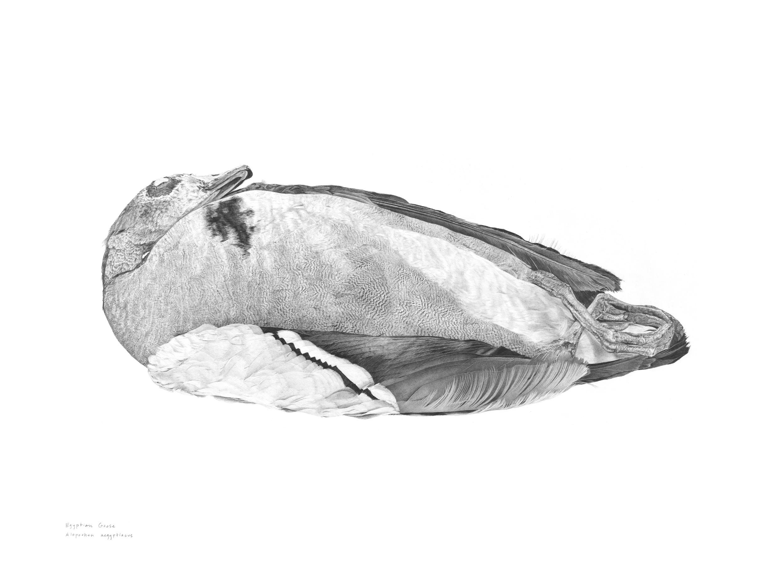 Duckgoose.jpg