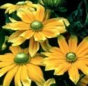 Rudbeckia-Prairie-Sun-e1454366841855.jpg