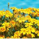 10-Marigold-Signet-Yellow-e1519406829594.jpg