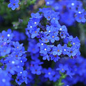 1-Anchusa-Blue-Bird.jpg