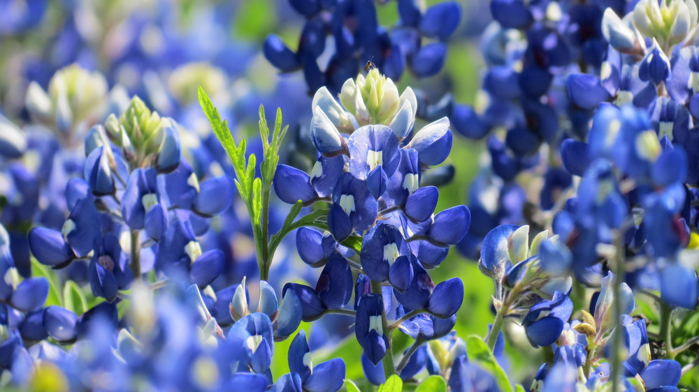 Members of our club are blessed to live in the rolling hills of Washington County where bluebonnets are plentiful!