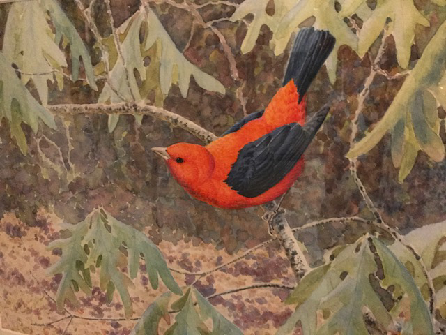 """Scarlet Tanager"" watercolor by David Plank"