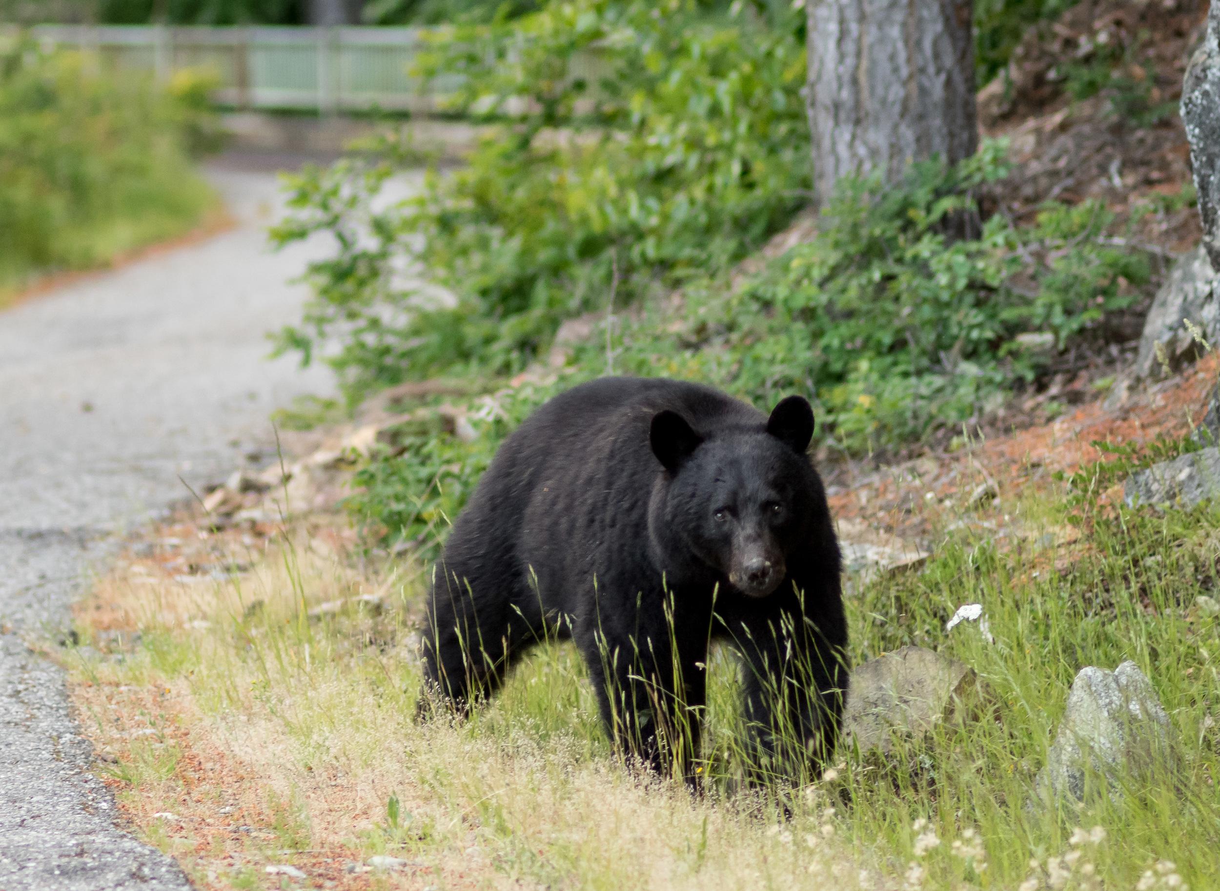 Black bear by the dam