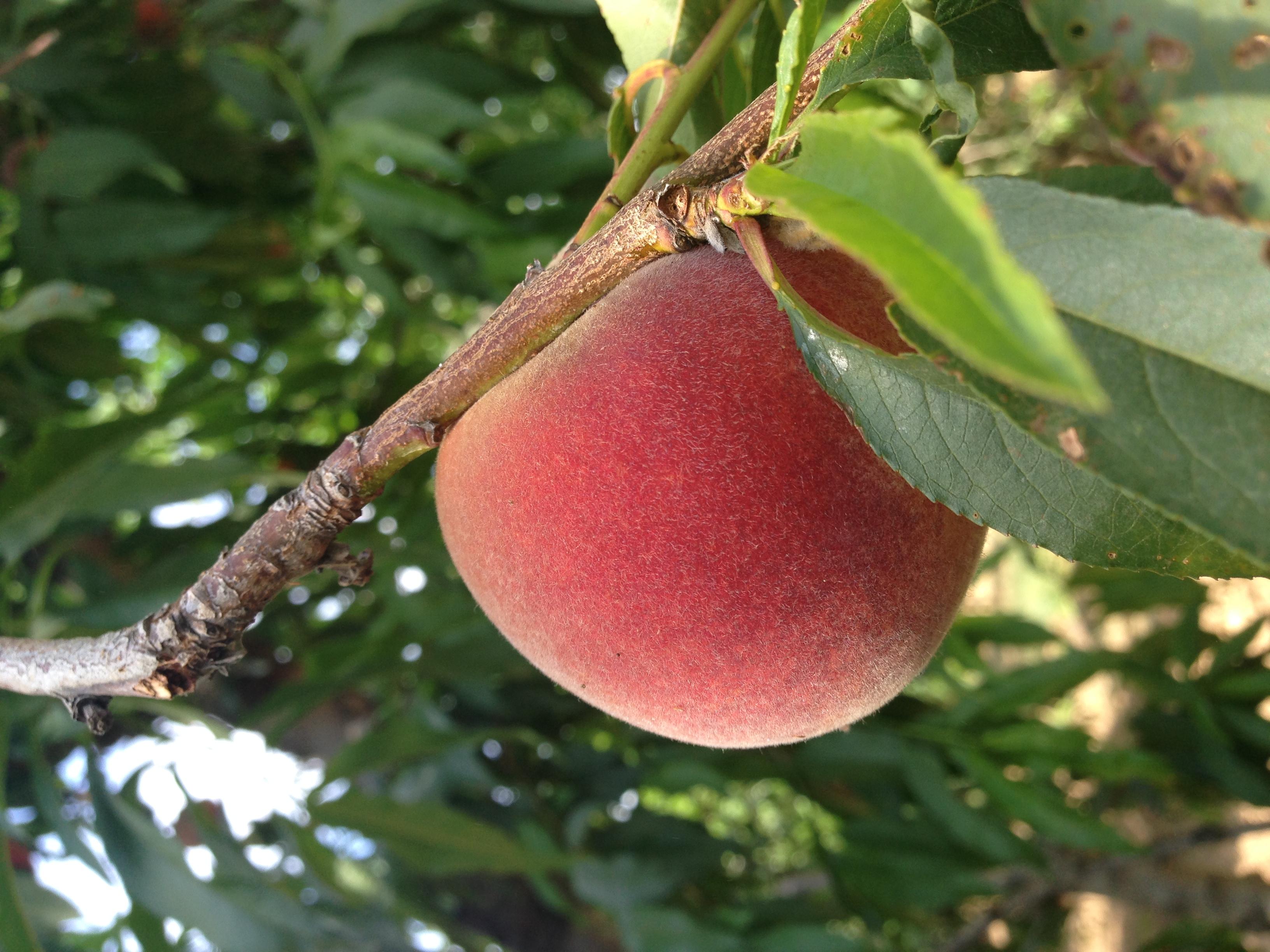 Yellow Freestone Peach