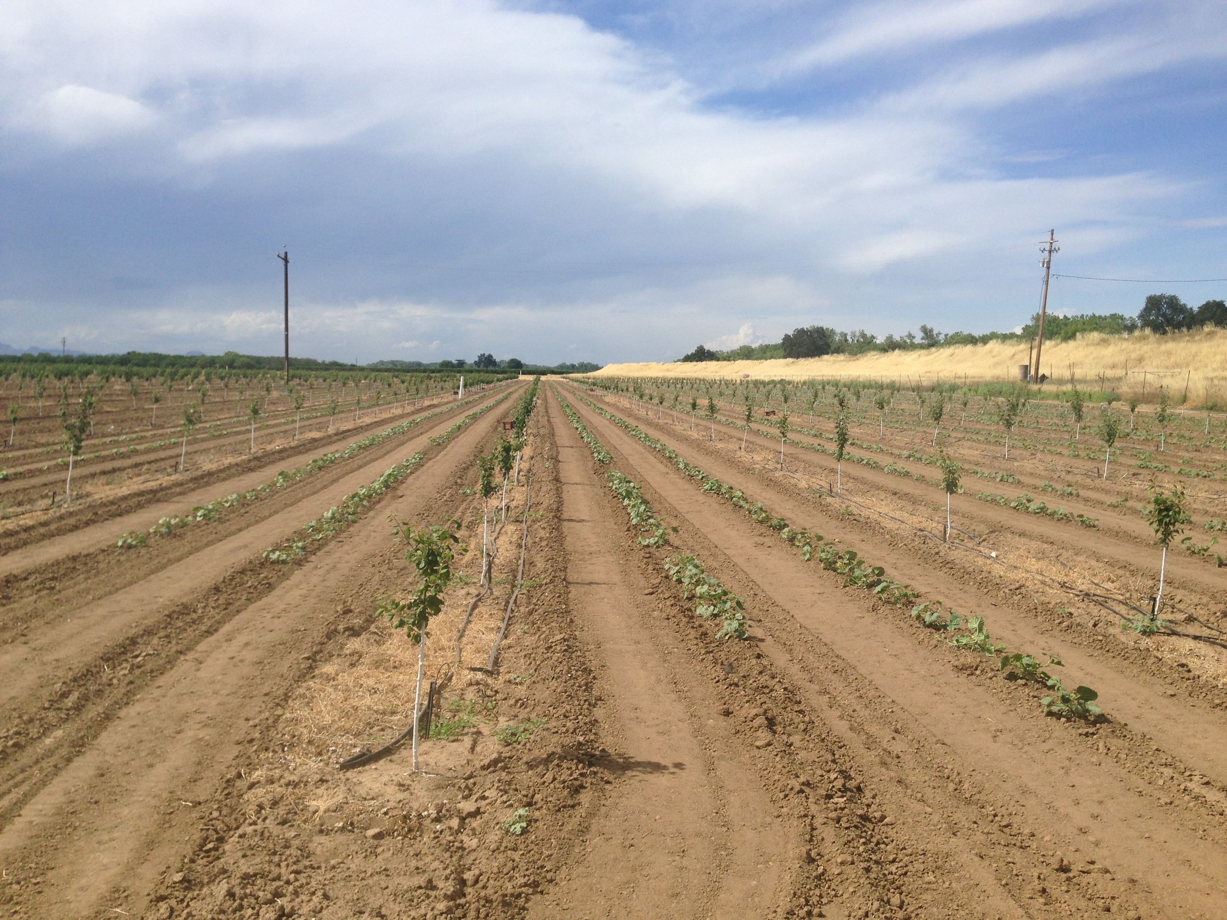 Land Use At Its Finest: Melons and Tomatoes Interplanted Among New Plum Trees.