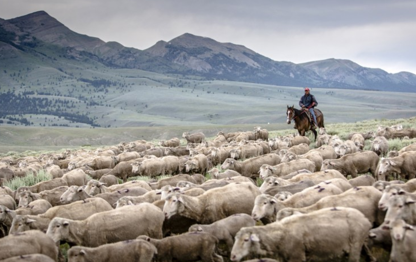 The Resurrection of the American Wool Industry