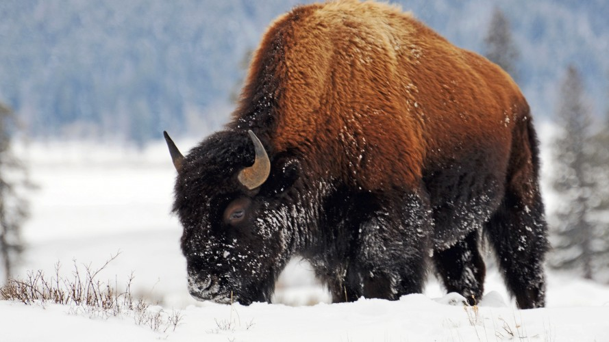 The Next Big Thing in Wool? Bison Down