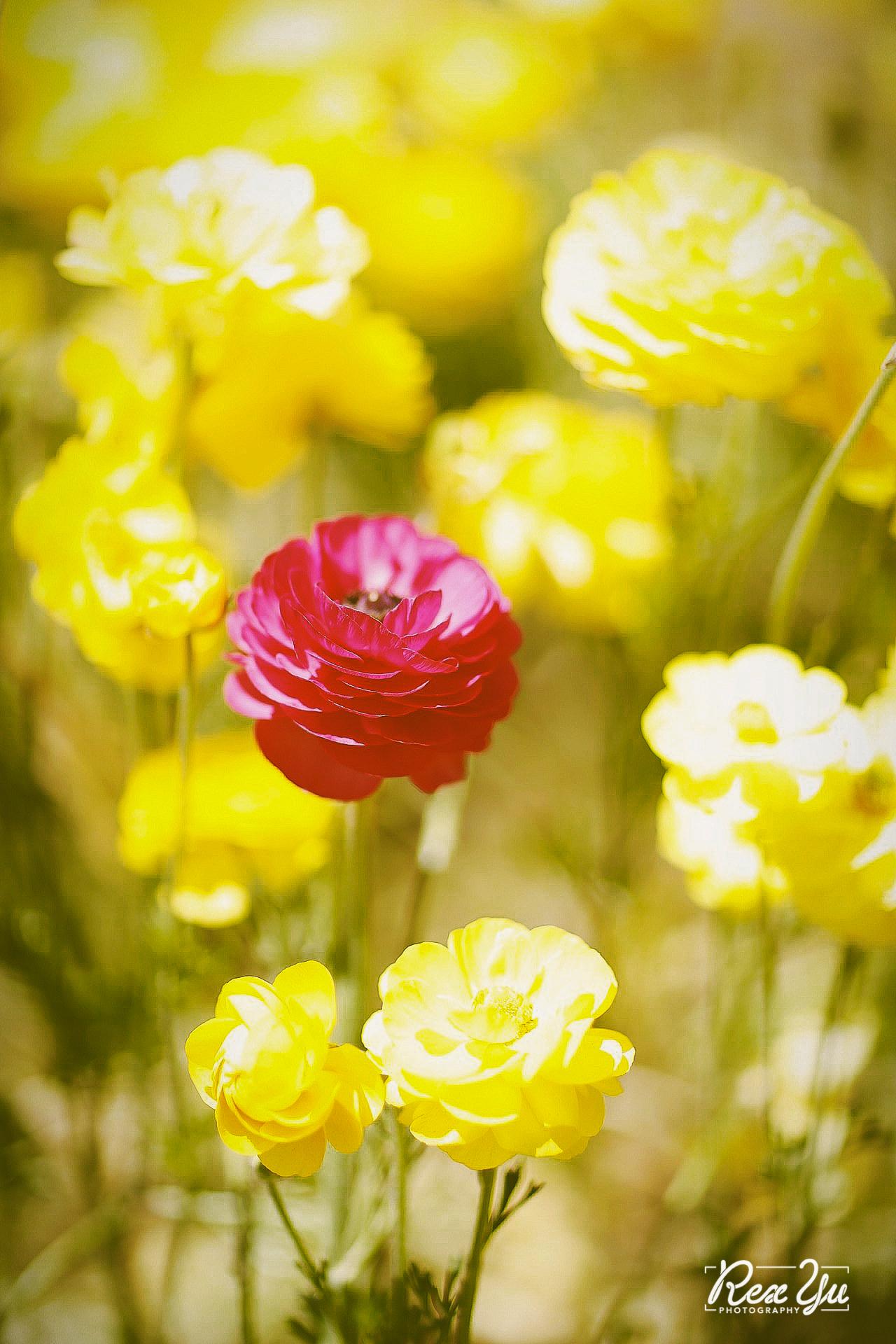 The Flower Fields of Carlsbad (4 of 58).jpg