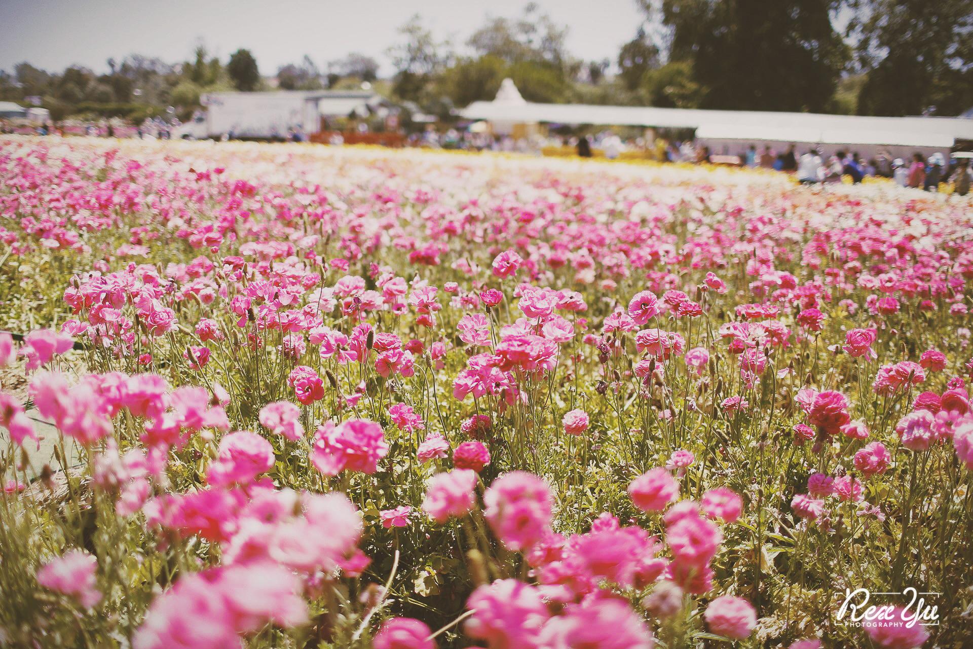 The Flower Fields of Carlsbad (15 of 58).jpg