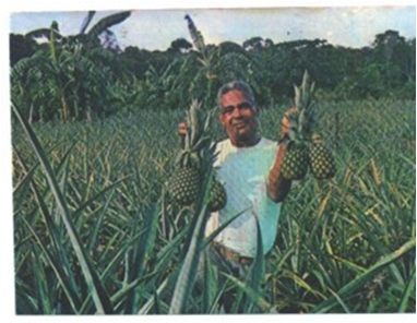 Mr. Edwin Burrows with a harvest of pineapples near Turtle Lake.
