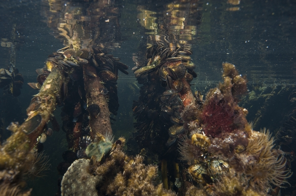 Sea life on mangrove roots in Turtle Lake. Photo courtesy of Neil Ever Obsorne and ILCP.