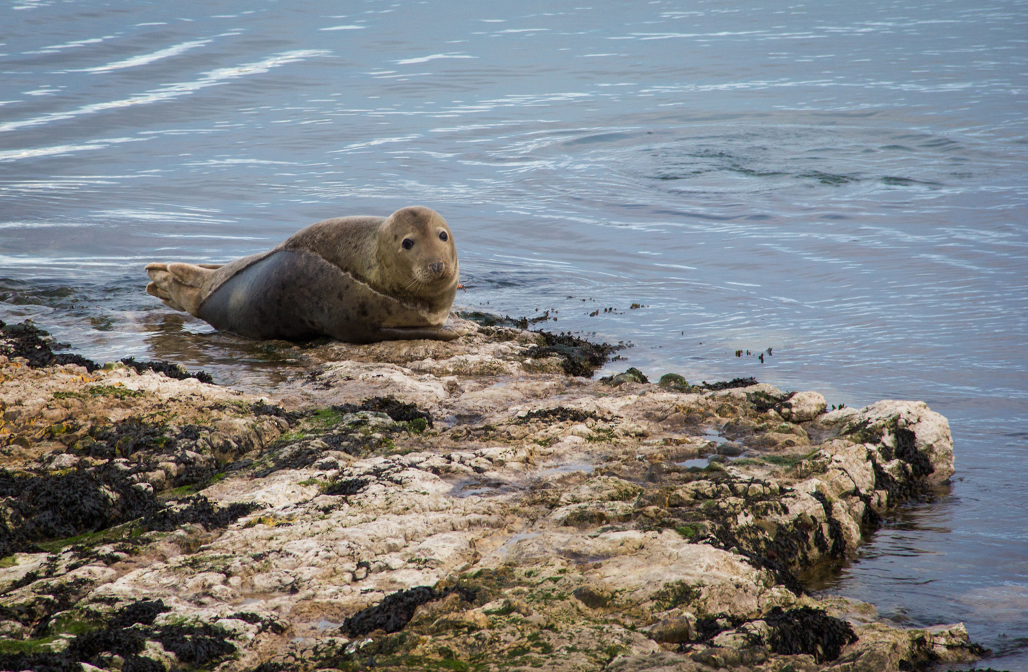 A seal bathes in Church Bay