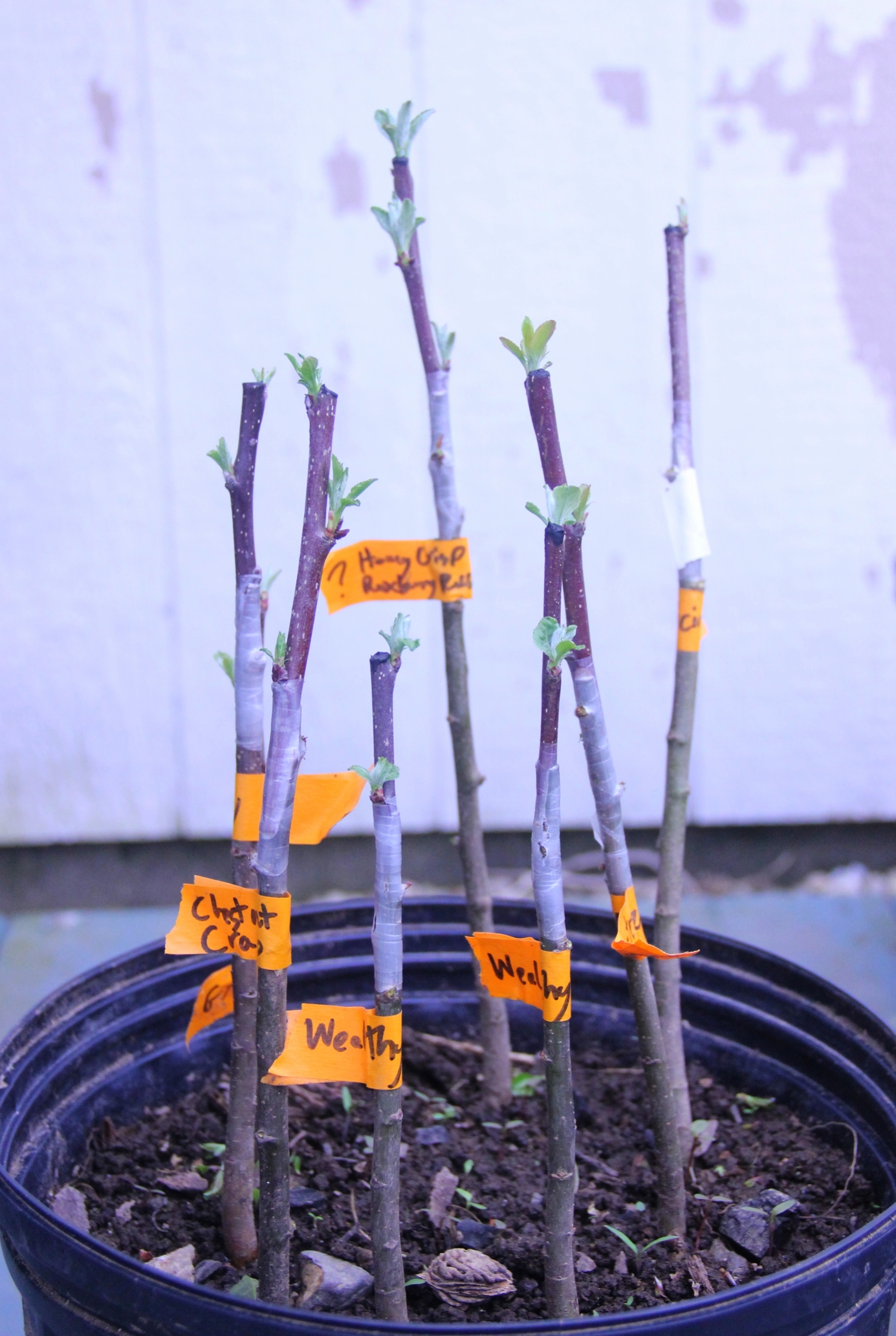 grafted apple babies
