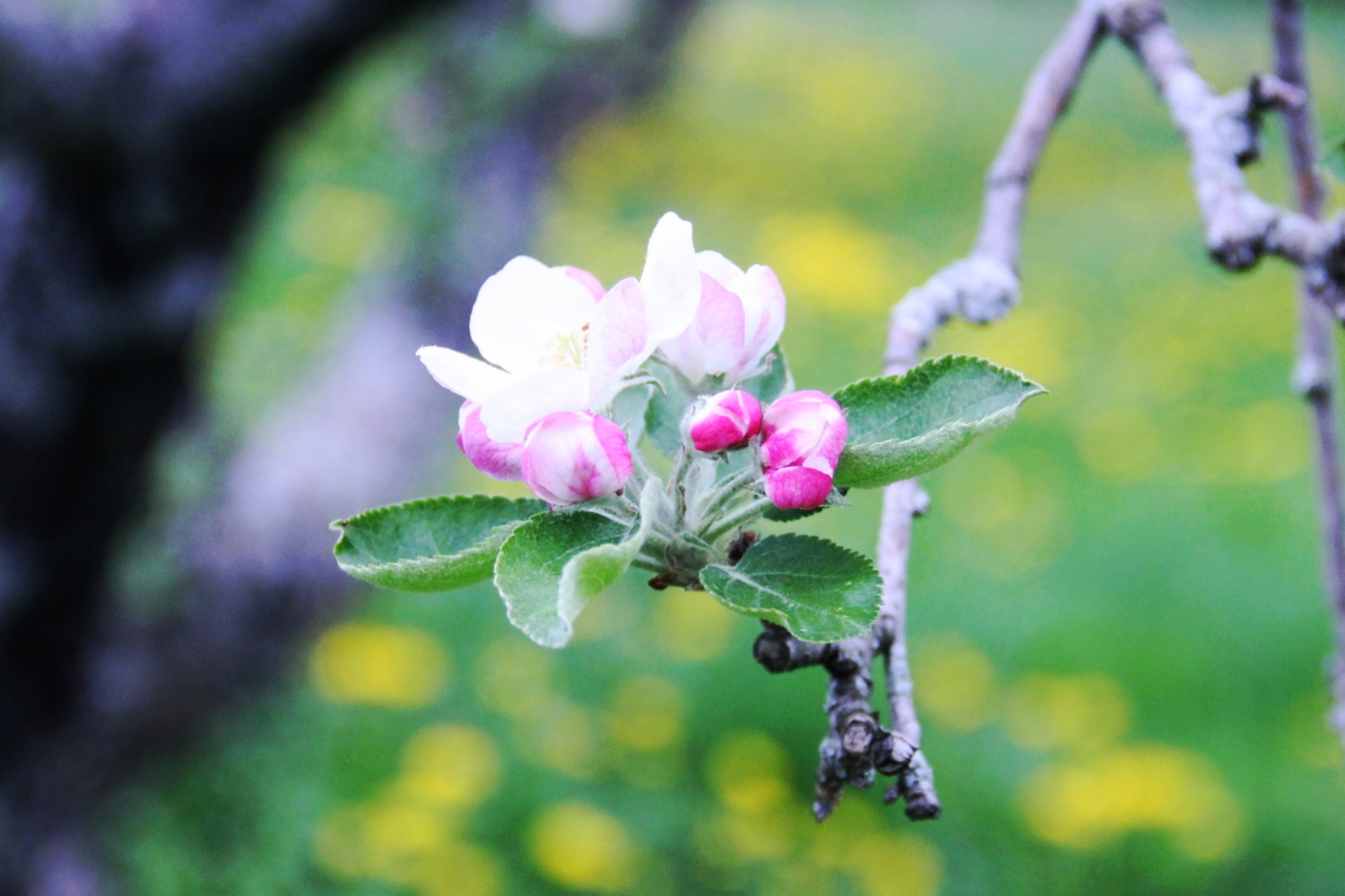 apple blossoms on our ancient tree