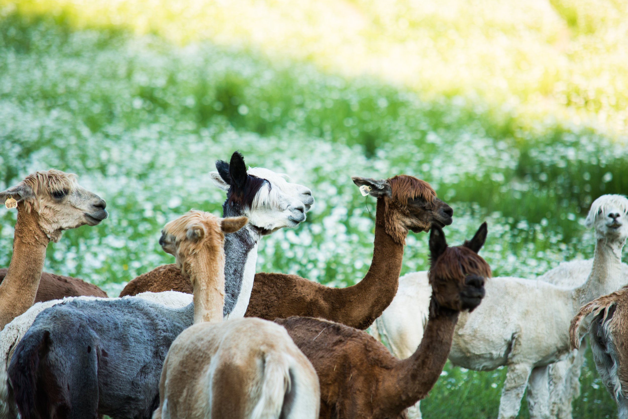 The Adams' 80-acre Millbrook, New York farm is home to 200 alpacas.  Photo by Isak Tiner