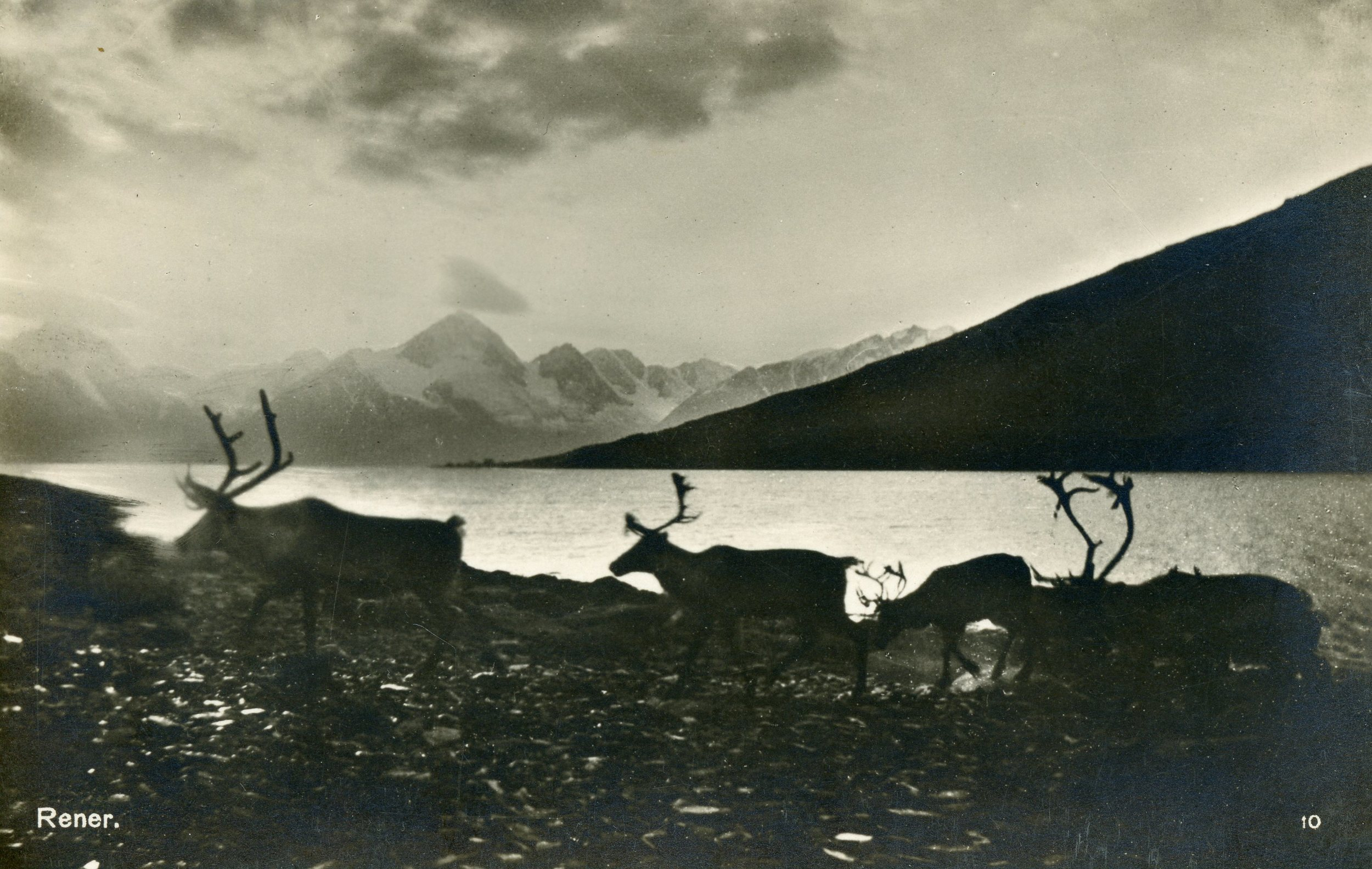 A beautiful & ethereal reindeer real photo postcard, either Danish or Norwegian in make ca. 1915.
