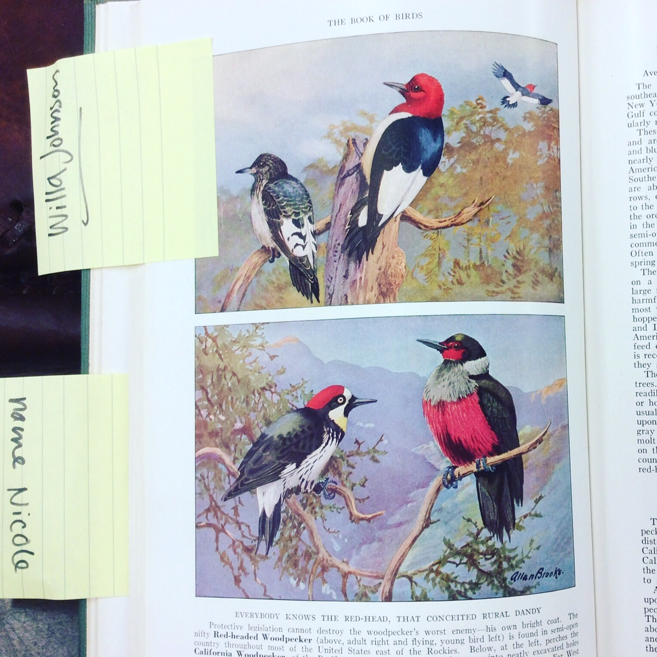"A page from ""The Book of Birds"" with a caption that reads ""EVERYBODY KNOWS THE RED-HEAD, THAT CONCEITED RURAL DANDY,"" photo by Rachel Simmons"