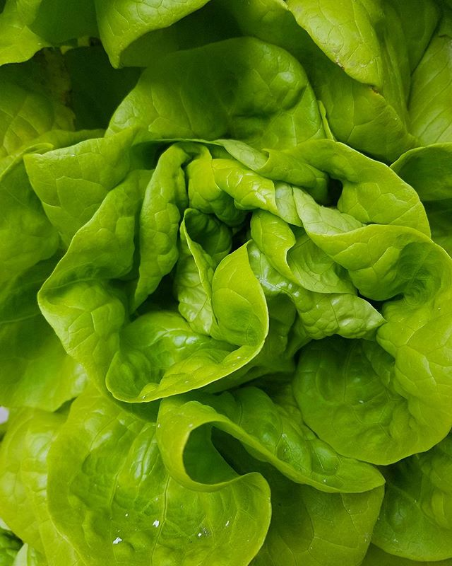 Butter lettuce... grown to perfection by @laurbanfarms