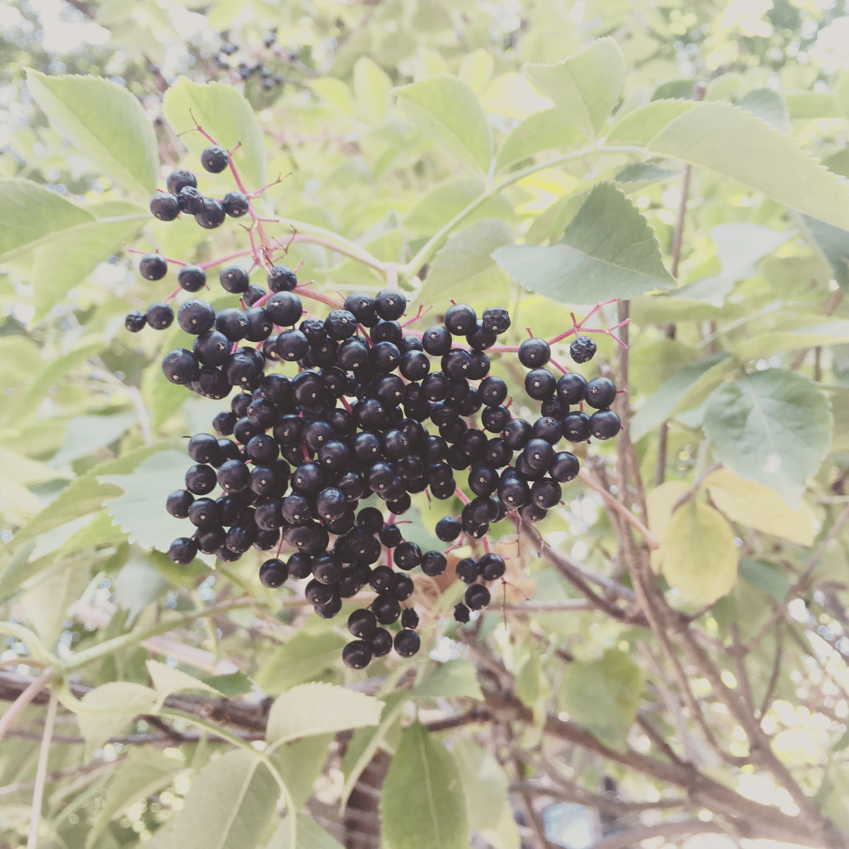 elderberry.JPG