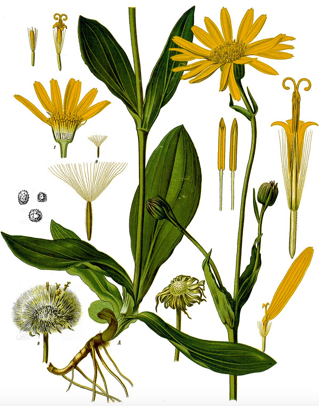 The wonderful  Arnica Montana  via Wikimedia