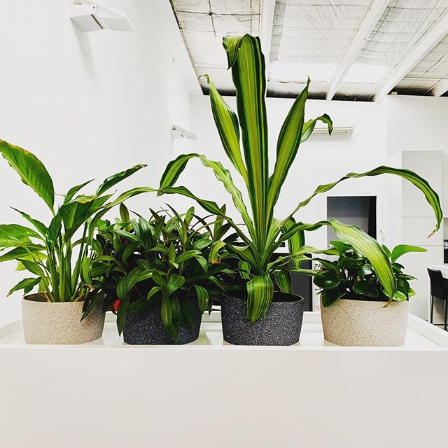 Our office is feeling extra lush today 🌿our resident green thumbs are cultivating for rainforest level flora..we may need to start lobbying management for policy to slow new plant arrivals. #stoptheplants