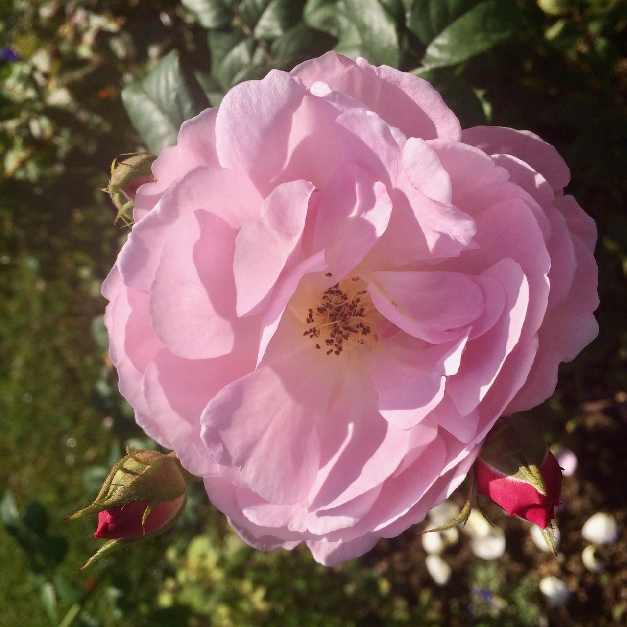 Villa Cora - Pink Rose.png