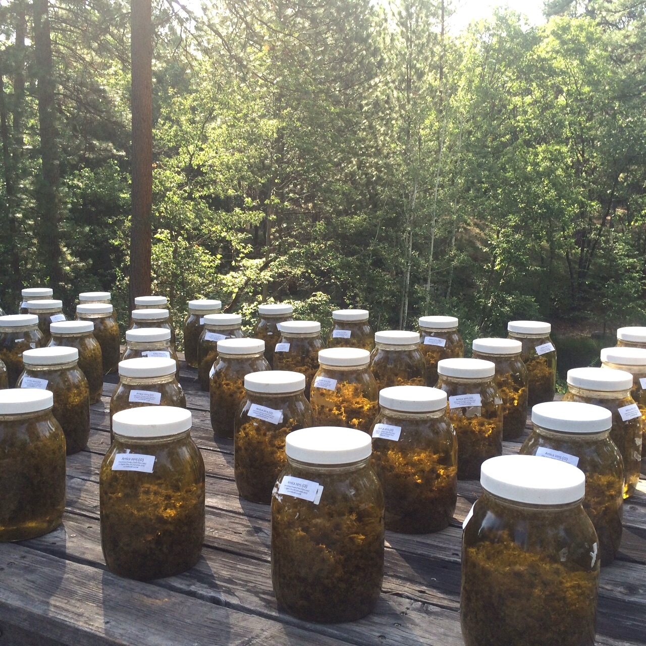 Arnica oil infusing in the sun