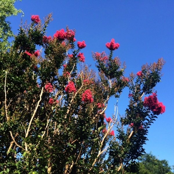 This shrub caught my eye while on vacation in Montauk. I was captivated by the vibrant blooms shooting into the sky, a signature of the plant. I was delighted to find that  Gurudas had more to say  on this flower.