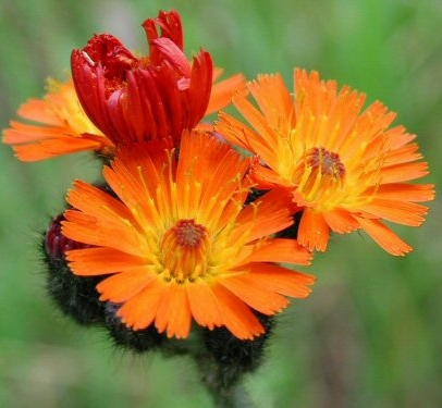 Orange Hawkweed, in the Aster family