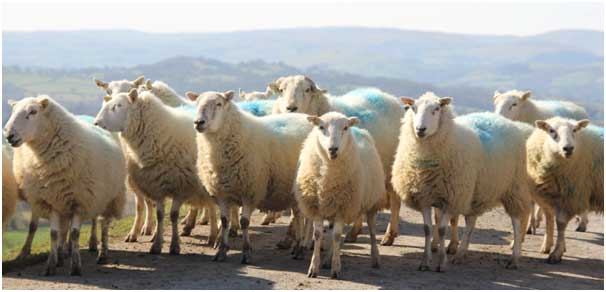 Welsh Mountain ewes - the ideal mutton animal