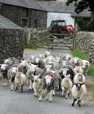 Cumbrian Herdwick Sheep