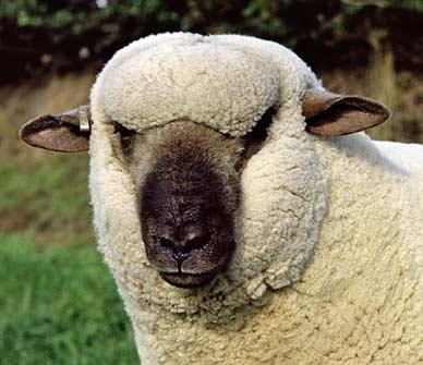 Dorset Down sheep