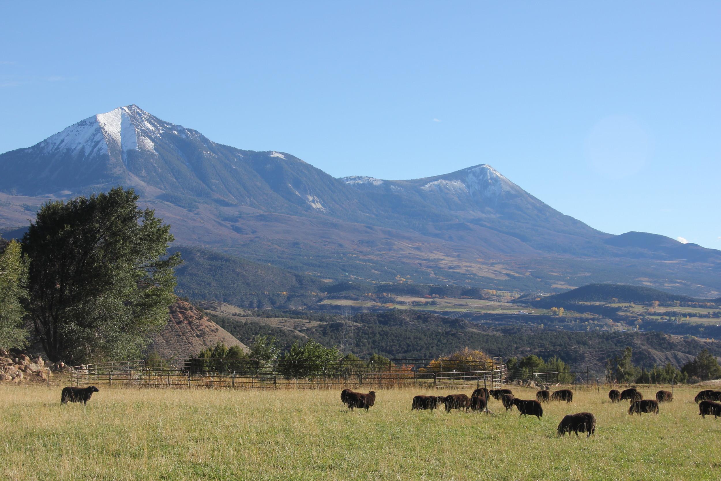 Black Welsh Mountain sheep at Desert Weyr farm, Colorado
