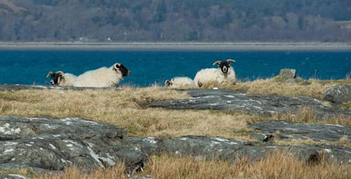 These sheep were happy basking in the April sun with a nice cool breeze coming of Loch Na Keal Isle of Mull